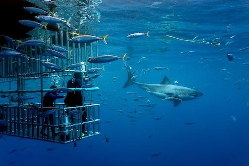 2-Shark-Diving